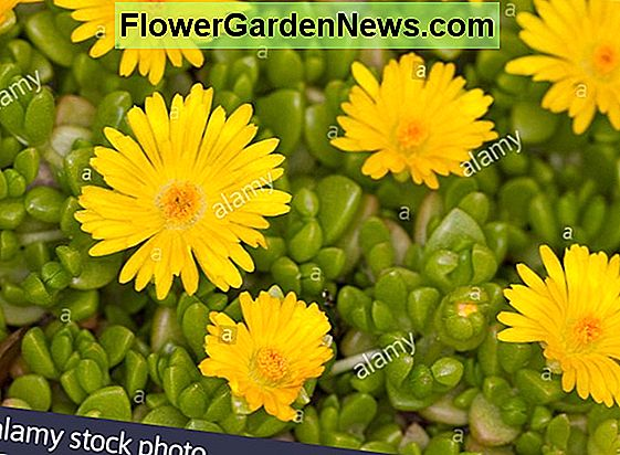 Delosperma 'Wheels of Wonder - White Wonder' (Ice Plant)