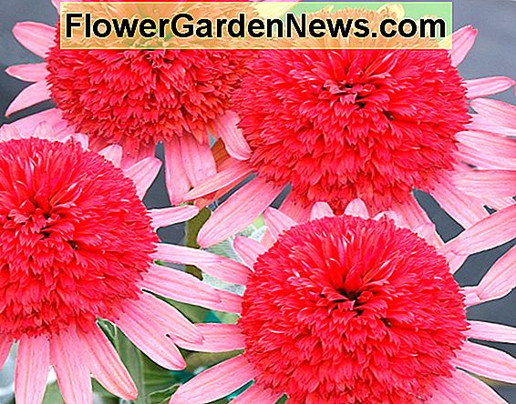 Echinacea 'Secret Passion' (Coneflower)