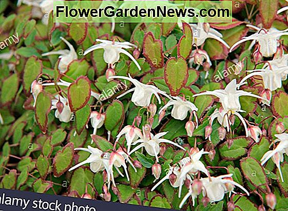 Epimedium grandiflorum 'Lilafee' (Barrenwort)
