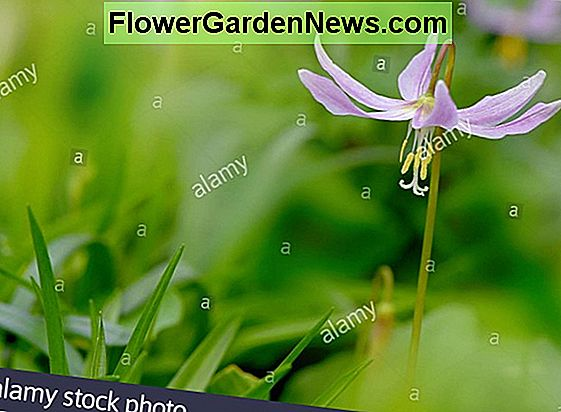 Erythonium dens-canis 'Purple King' (Dog's Tooth Violet)