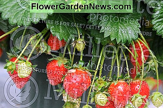Fragaria 'Allstar' (Junebearing Strawberry)