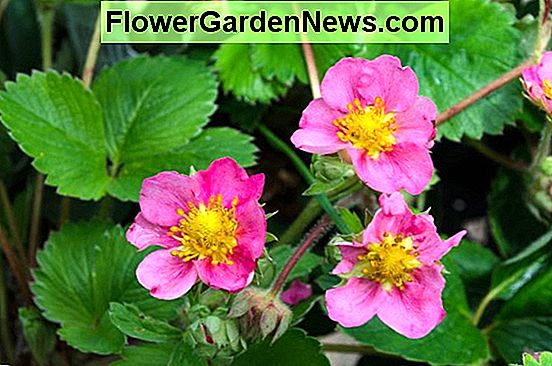 Fragaria × ananassa 'Toscana' (Everbearing Strawberry)