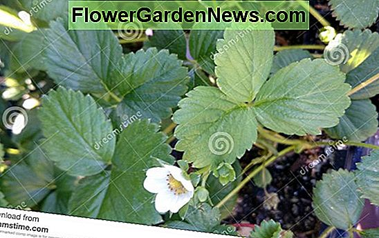 Fragaria x ananassa 'Albion' (Everbearing Strawberry)