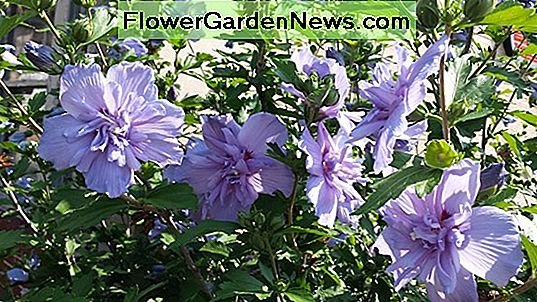 Hibiscus syriacus 'Pink Chiffon' (Rose of Sharon)