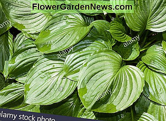 Hosta 'August Moon' (Plantain Lily)