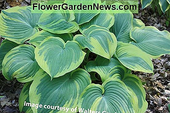 Hosta 'Earth Angel' (Plantain Lily)