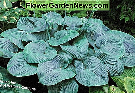 Hosta 'Humpback Whale' (Plantain Lily)