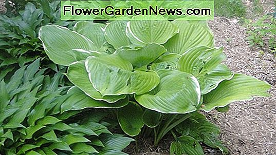 Hosta plantaginea (Plantain Lily)