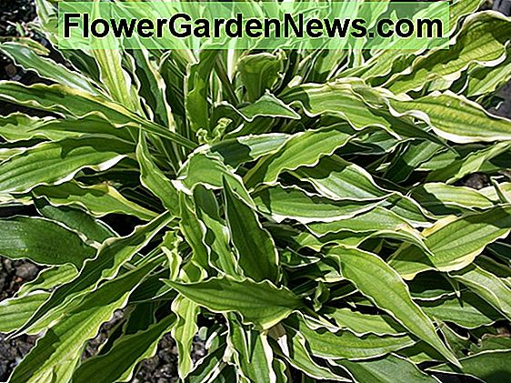 Hosta 'Stiletto' (Plantain Lily)