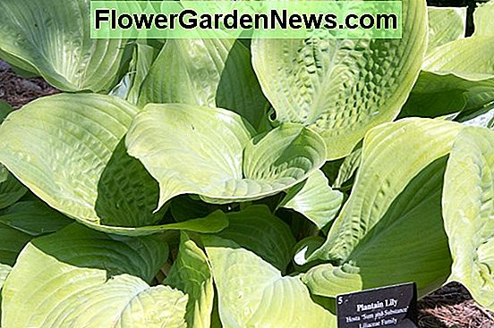 Hosta 'Sum and Substance' (Plantain Lily)