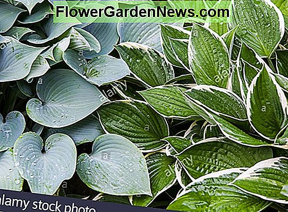 Hosta 'Wide Brim' (Plantain Lily)