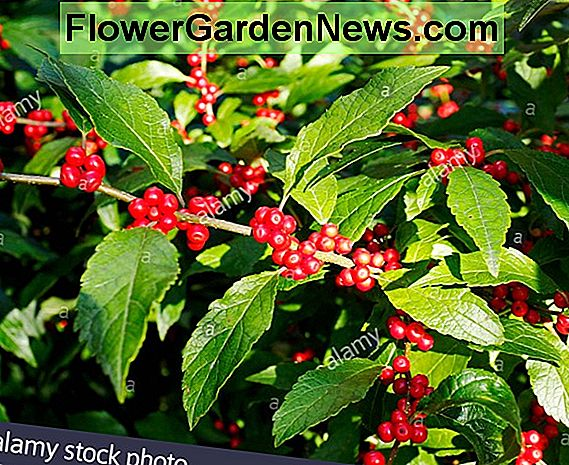 Ilex verticillata 'Winter Red' (Winterberry)
