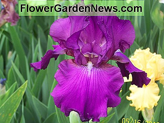 Iris 'Cloud Ballet' (Reblooming Bearded Iris)