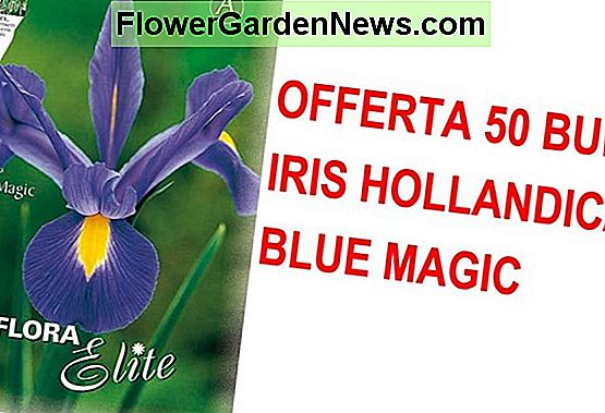 Iris hollandica 'Blue Magic' (Iris olandese)