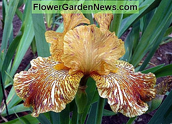 Iris 'Tiger Honey' (Iris barbuto)