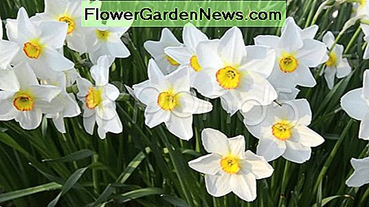 Narciso 'Actaea' (poeticus Daffodil)