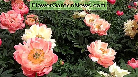 Paeonia lactiflora 'Bowl of Cream' (Peonia)