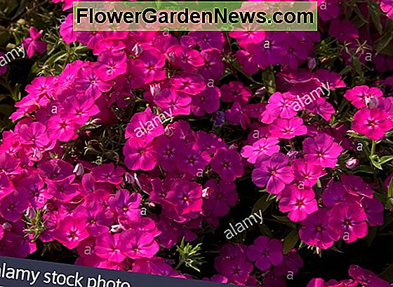 Phlox paniculata Flame Purple Eye (Garden Phlox)