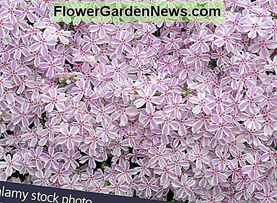 Phlox subulata 'White Delight' (Creeping Phlox)