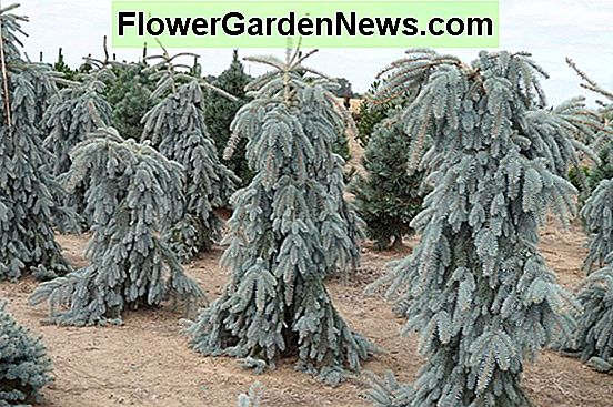 Picea pungens 'The Blues' (Colorado Spruce)