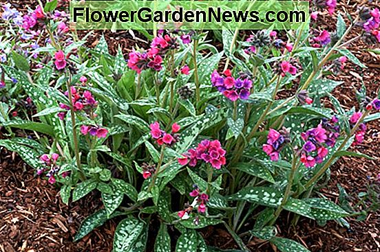 Pulmonaria 'Silver Bouquet' (Lungwort)