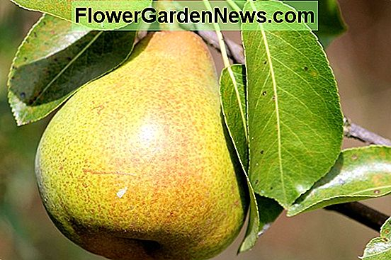 Pyrus communis 'Harrow Sweet' (Pera europea)