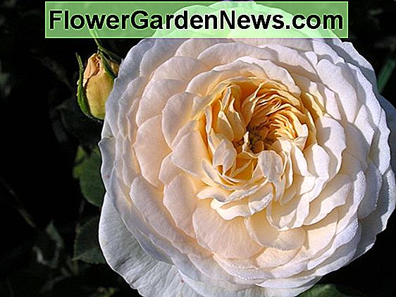 Rosa 'Crown Princess Margareta' (Rosa inglese)