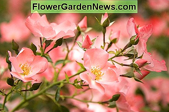 Rosa 'Flower Carpet Coral' (Groundcover Rose)