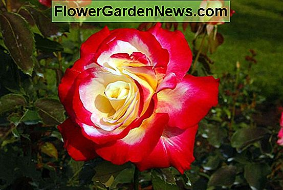 Rosa 'Perfume Delight' (Hybrid Tea Rose)