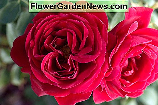 Rosa 'Queen o' the Lakes '(Hybrid Tea Rose)