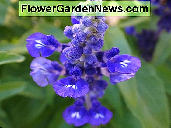 Salvia farinacea 'Blue Bedder' (Mealy Cup Sage)