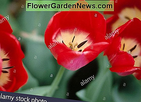 Tulipa 'Big Chief' (Darwin Hybrid Tulip)