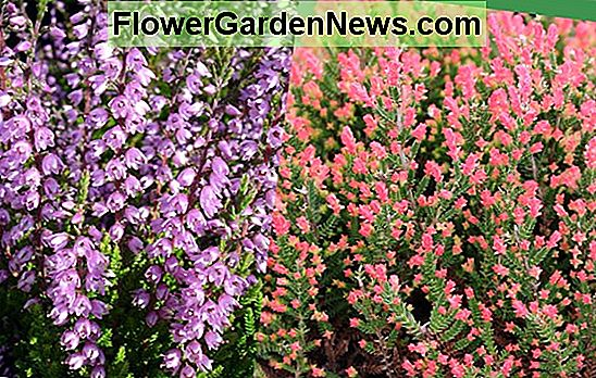Calluna vulgaris 'Spring Obor' (Heather)