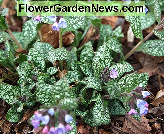 Pulmonaria 'Majeste' (Lungwort)
