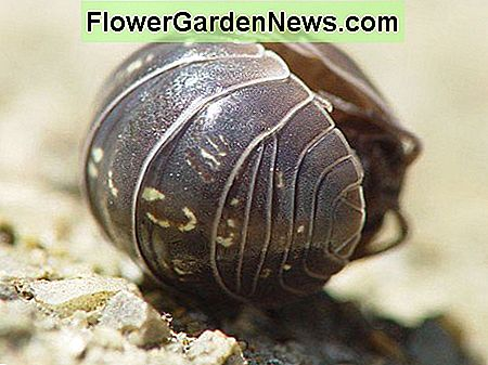 Woodlice(Pill Bugs)を殺さないでください:Nature's Recyclers
