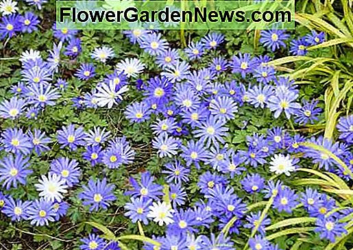Anemone blanda 'Blue Star' (Grecian Windflower)