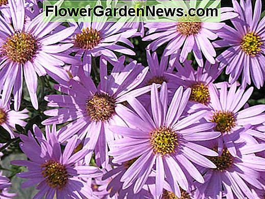 Aster amellus 'Rosa Erfullung' (Aster italiani)