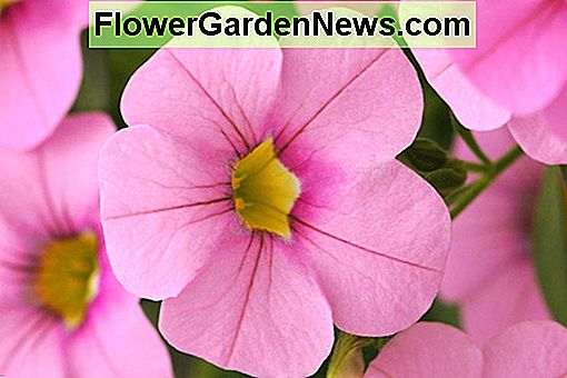 Calibrachoa 'Cabaret Light Pink'