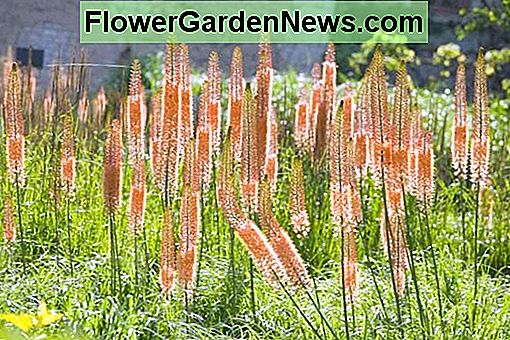 Eremurus x isabellinus 'Cleopatra' (Foxtail Lily)