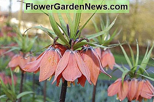 Fritillaria imperialis 'Beethoven' (Crown Imperial)