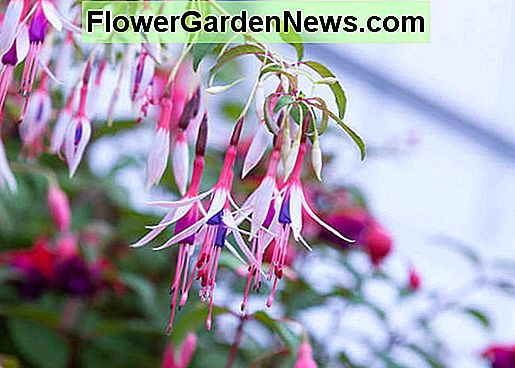 Fellsia magellanica 'Lady Bacon' (Hardy Fuchsia)