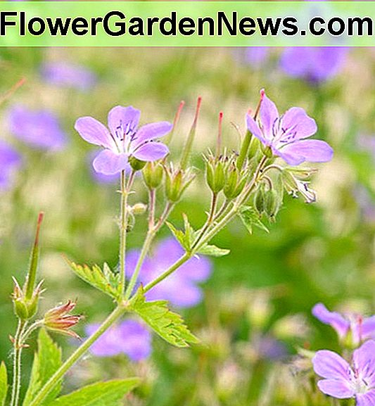 Geranium sylvaticum 'Mayflower' (Wood Cranesbill)