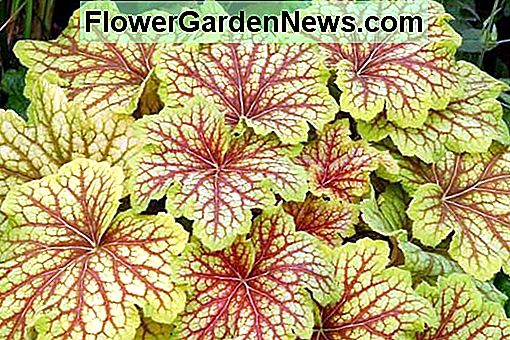Heuchera 'Red Lightning' (Coral Bells)