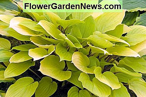 Hosta 'Fire Island' (Plantain Lily)