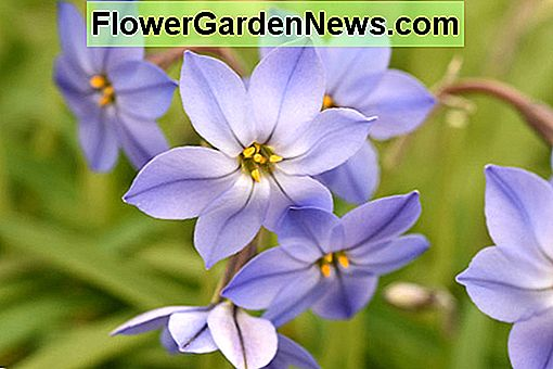 Ipheion 'Jessie' (Spring Starflower)