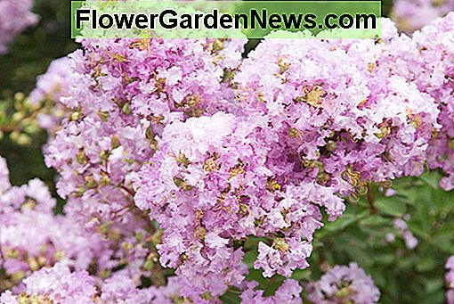 Lagerstroemia 'Early Bird Lavender' (Crape Myrtle)