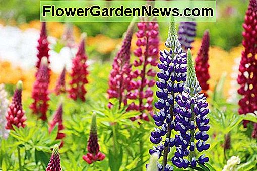 Lupinus 'The Governor' (Lupin)
