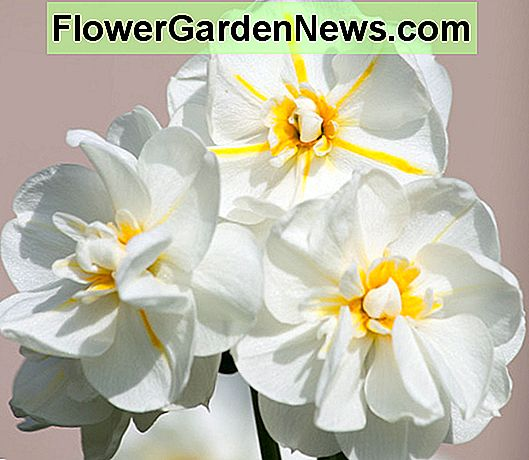 Narcissus 'Cheerfulness' (Double Daffodil)