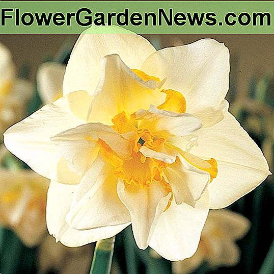 Narcissus 'White Lion' (doppio narciso)