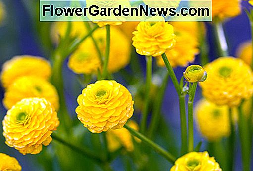 Ranunculus acris 'Flore Pleno' (Double Meadow Buttercup)